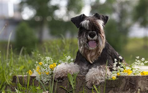 low allergy dogs breed series part 1 low allergenic breeds petsecure