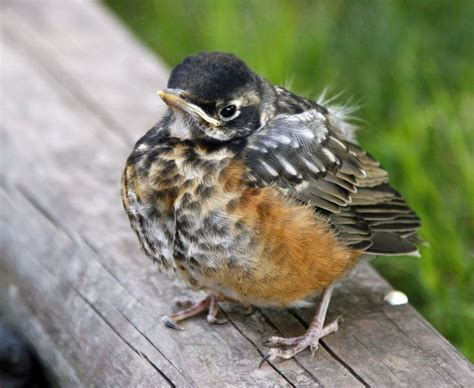 baby robin red breast chick birds robins bluebirds