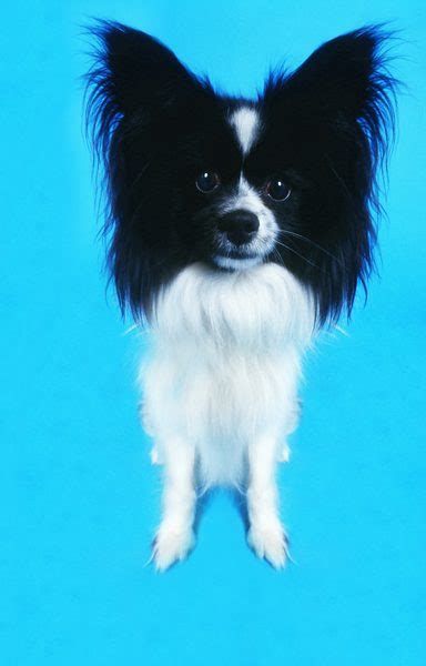 long hair chihuahua hair growth what to expect the advantages disadvantages to owning a long haired