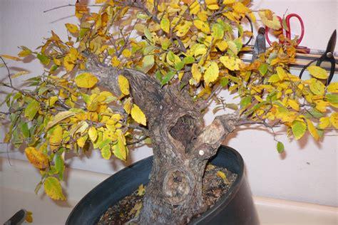 care   bonsai tree    yellow bonsai