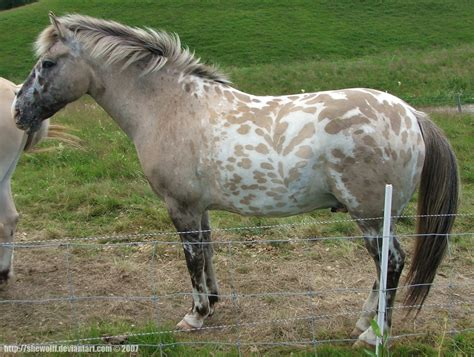 fjord horse for sale uk fjord horse cross breeds pumpkin pony