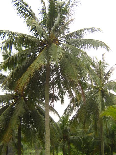 Coconut Tree coconut palm simple the free encyclopedia