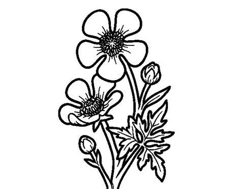 disegni da colorare fiore disegno di fiore ranuncolo da colorare acolore