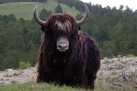 Imagenes De Halloween De Yak | international yak association home