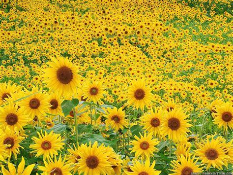 sunflowers sunflower seeds wallpaper 24670612 fanpop