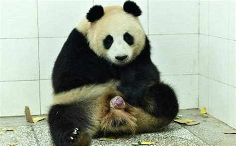 The Year Of The Panda panda xidou gives birth to the world s heaviest