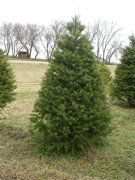 what is the most fragrant fir tree for christmas tree descriptions