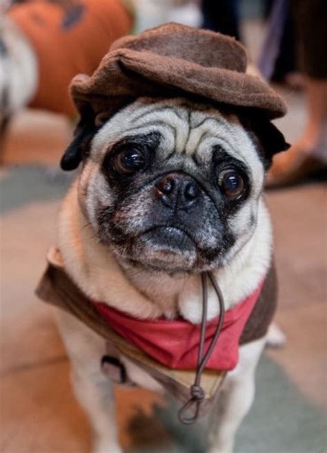 pros pug rescue pros pug rescue hosts pug o ween in marin photos huffpost