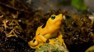 Golden Frog Panamanian Golden Frog San Diego Zoo Animals Plants