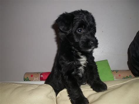 jackapoo puppies dogs breeds picture