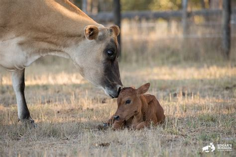 Cow Hides Calf Babies Had Been Taken From Before But What She