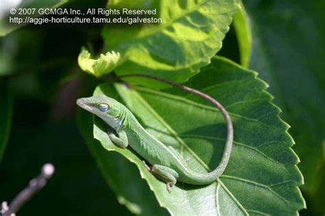 beneficial lizards   landscape  green anole