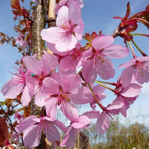 k cherry tree prunus sargentii rancho buy upright sargents cherry tree blossom