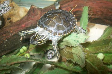Turtles Shedding by Shedding Basking Log Turtle Forum