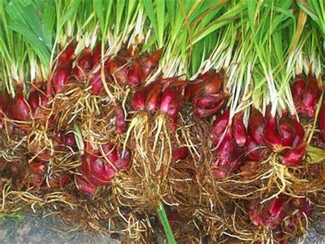 Benih Bawang Merah Yg Bagus cara menanam tanaman obat herbal dan jamu tradisional