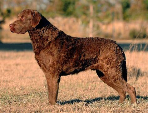 chesapeake retriever puppy chesapeake bay retriever not in the housenot in the house