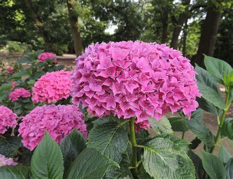 Hydrangea Planter by Plants Flowers 187 Hydrangea Macrophylla Hortensia