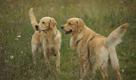 field golden retrievers golden retriever