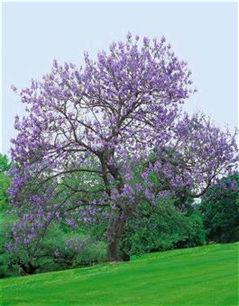 Chinesischer Blauglockenbaum Kaufen by Blauglockenbaum Paulownia Fortunei Fast Blue 174 Blau