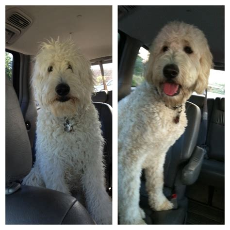 doodle haircuts goldendoodle pre post haircut golden doodles