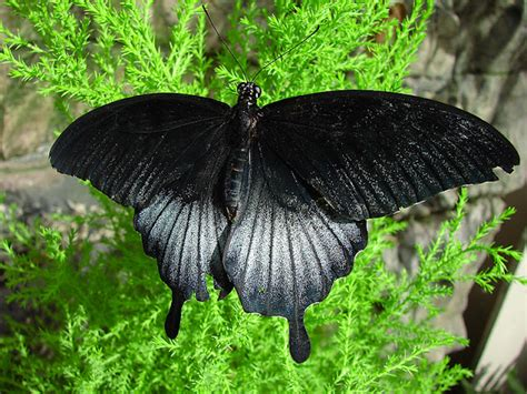 Black Butterfly | news butterfly black butterfly