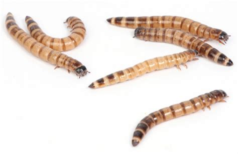 mealworm care information facts pictures