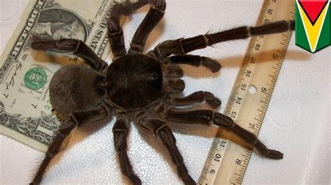 laba laba terbesar  dunia sebesar seekor anak anjing