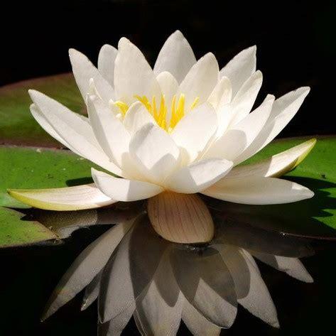 what is white lotus white lotus absolute for perfumery