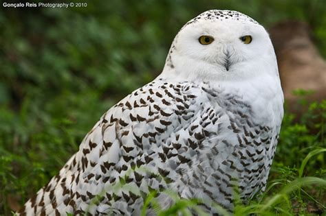 Snowy Owl Hedwig Papercraft By - hedwig snowy owl flickr photo
