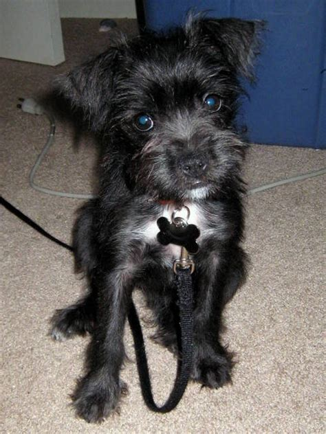 schnauzer mix puppies miniboz boston terrier miniature schnauzer mix info and pictures