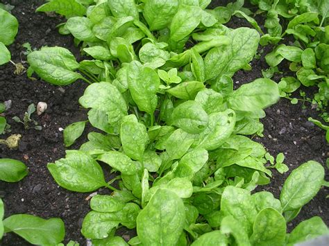 Spinach Garden by How To Grow Spinach Growing Spinach Garden Spinach