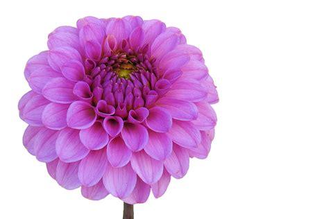 illustration dahlia pink flower garden