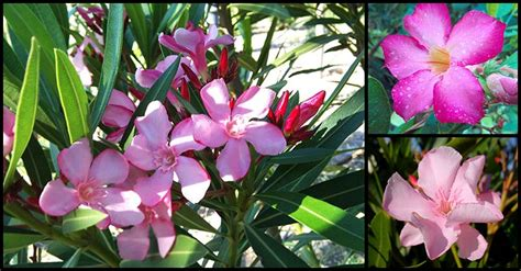 medicinal   adelfa plant dr farrah md