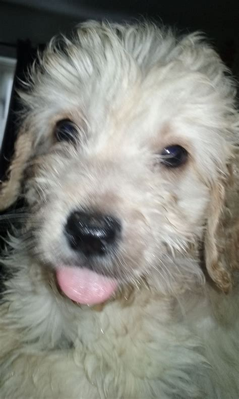 mini doodle puppies for sale uk ready now miniature f1b goldendoodle puppies