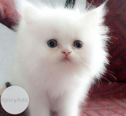 cat price cat price in india popular breeds of cats photo