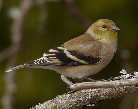 washington state bird facts new jersey state bird eastern goldfinch