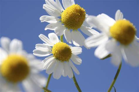 fiori di bach neonati chamomille il fiore dei bambini curarsi con i fiori