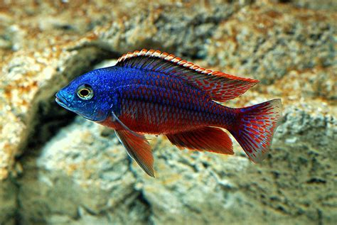 freshwater fish pics of tropical fish freshwater fish for aquarium