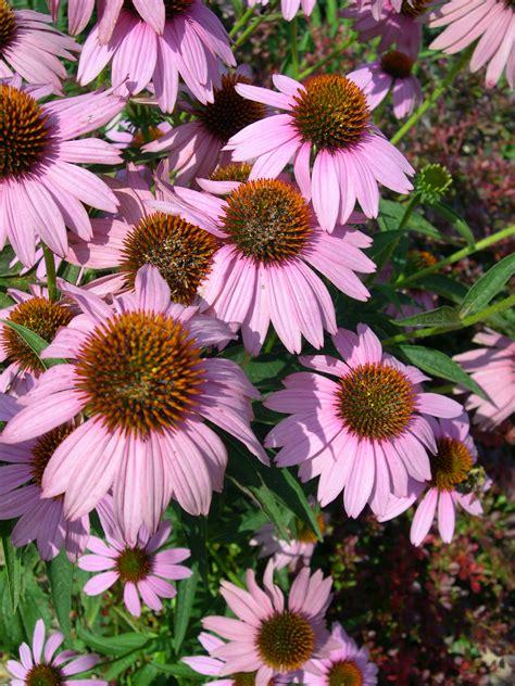 Perennials ? The Backbone of Your Garden   Lorenz's OK