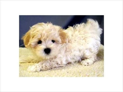 maltipoo puppies for sale nc maltipoo breeders in nc breeds picture
