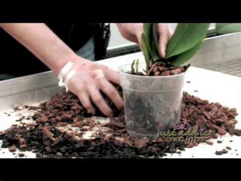 re potting your just add ice orchid youtube