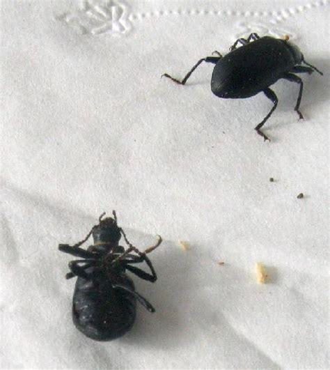 black beetle bug in house big black beetle in house house plan 2017