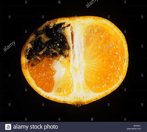 fruit fly larvae mediterranean fruit fly ceratitis capitata damage