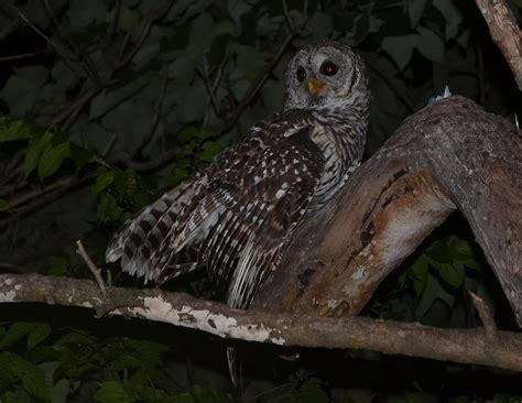 owls austin bat refuge