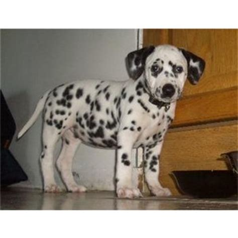 silicone puppies for sale 196303 india dalmatian puppies for sale classifieds free ad polyvore