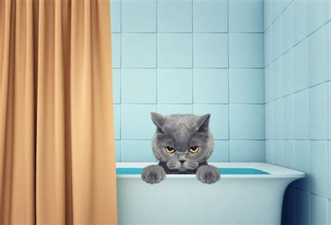 8 Tips On Bathing Your Feline by 8 Steps To Bathing Your Cat Four Legged Guru