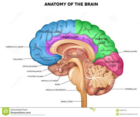 sagittal section of the brain sagittal section of brain diagram anatomy body list