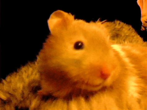 hamster animation animation of my hamster elik by p0ckyy on deviantart