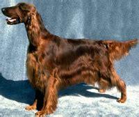 pace setter dog training irish setter training 101