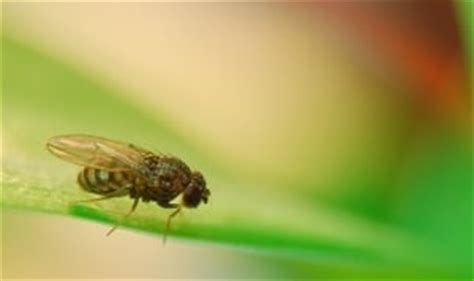 wie vertreibt fruchtfliegen hausmittel gegen fruchtfliegen jetzt lesen alle tipps